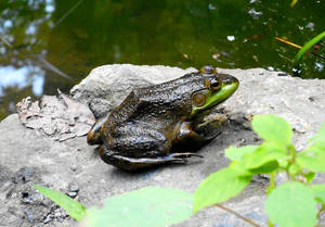 Green Frog IV