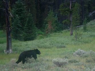 Yellowstone - Black Bear by X-ample