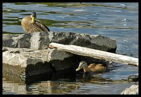 Ducking Duck