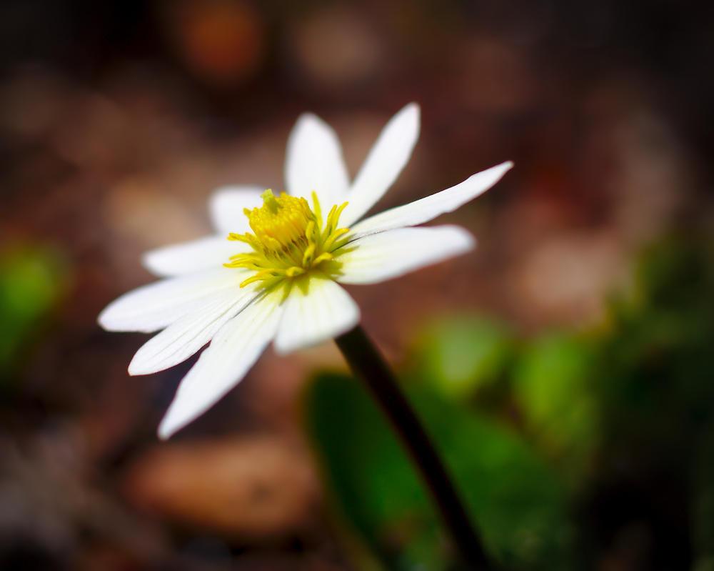 White Marsh Marigold by BradyLane on DeviantArt