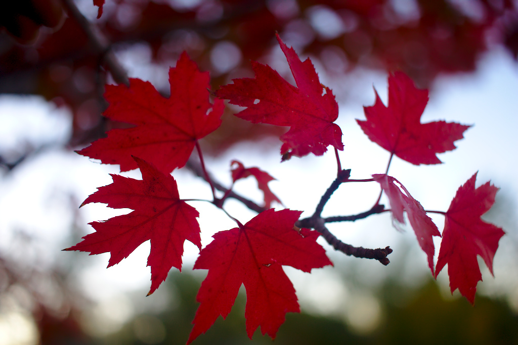 Maple Leaves by BradyLane