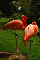 flamingo by aleeka-stock