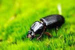 Beetle on Moss