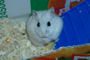 Hamster by Ashavir