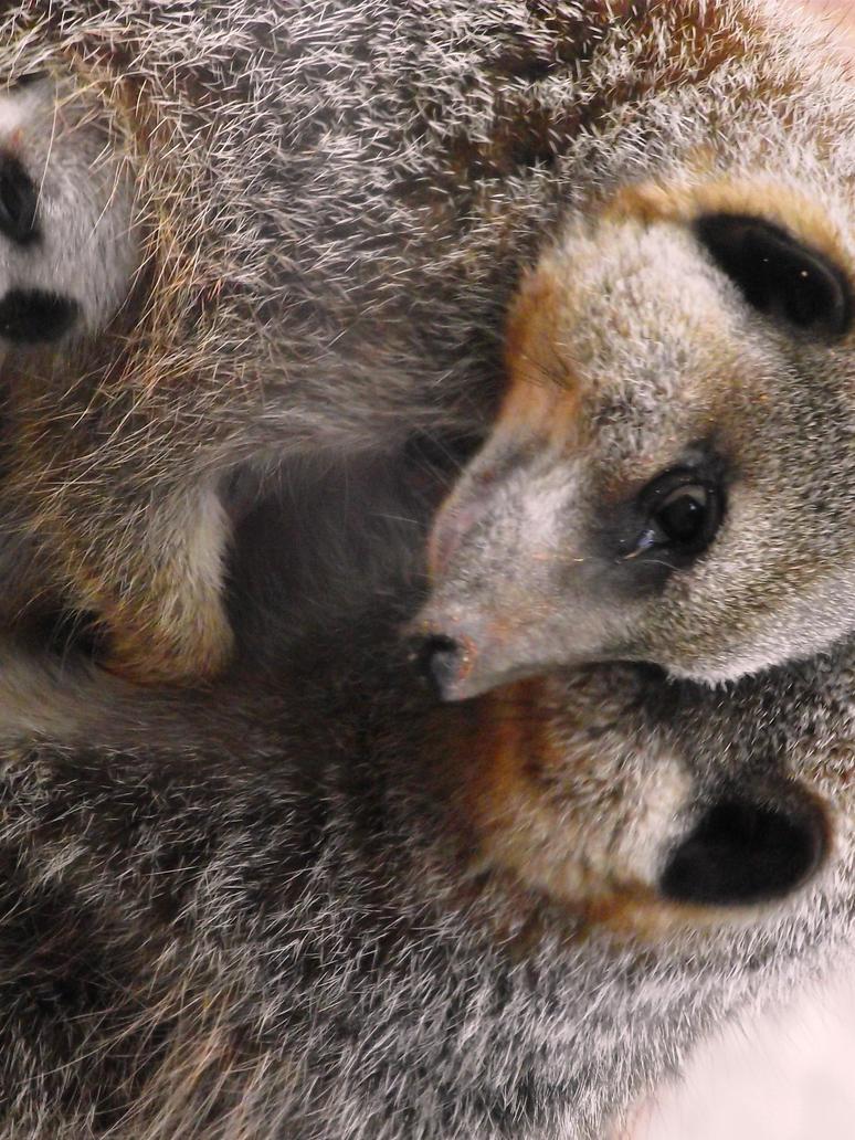Meerkat Cuddles by jennypip