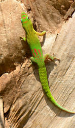 gold dust day gecko by LeoGg