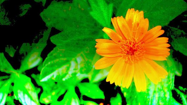 The Sunflower by kfunkymehta