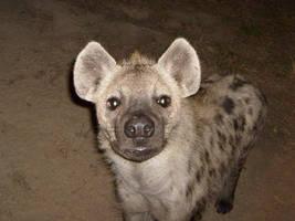 hyaena sub-adult by emmawood