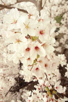 Cherry Blossoms 2013