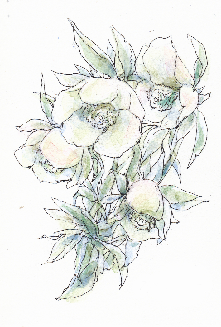 Christmas rose by le-xiang