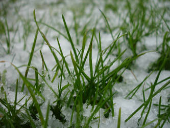 Macro Grass and Snow