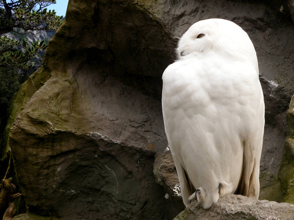 Snowy Owl Wallpaper By Burnstine On Deviantart