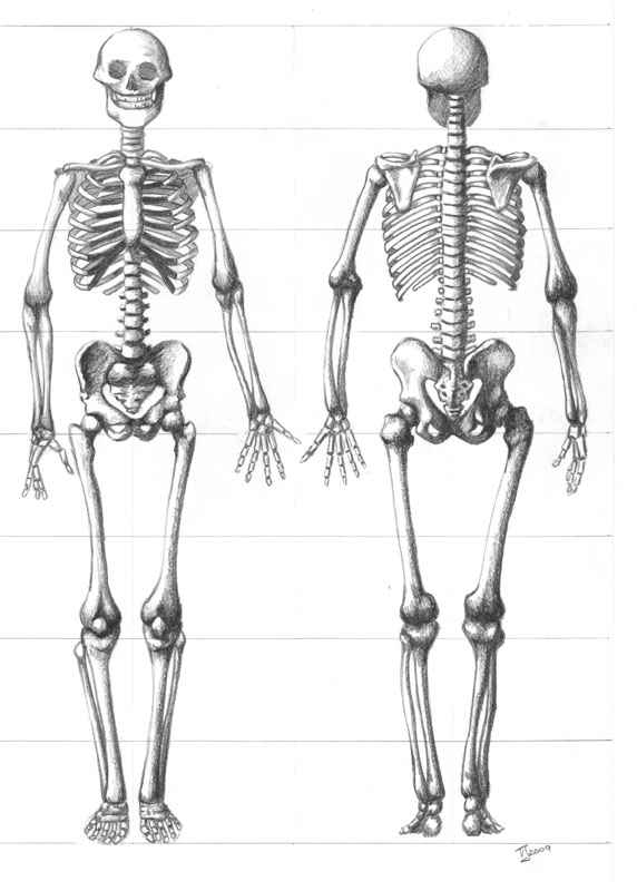 Skeleton Sketch by TiffanyTiger on DeviantArt