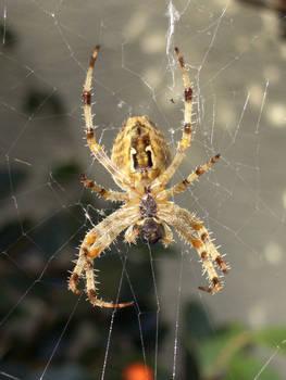 Spider +