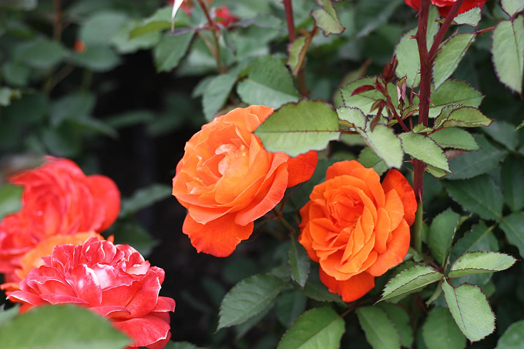rozie by marcellinek