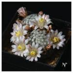Mammillaria sanchez-mejoradae by mv-darkroom