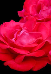 Red Rose with black background by rhoar