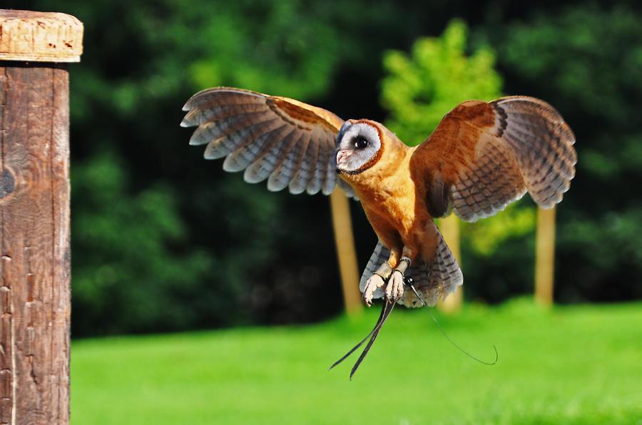 Ashy Faced Owl By Monkmonk12 On Deviantart