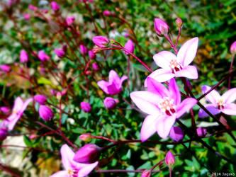 Boronia Flowers by jagsko
