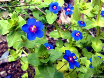 Blue Pimpernel Flowers by jagsko