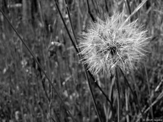 Dandelion Seed by jagsko