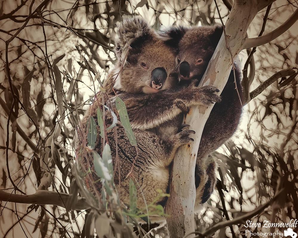 Mum and Joey Koala by djzontheball