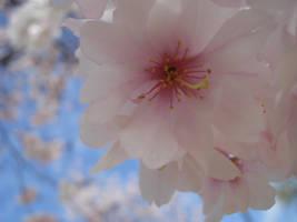The Cherry Blossom by DontPanicYet