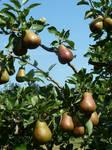 It's Pear Season Too