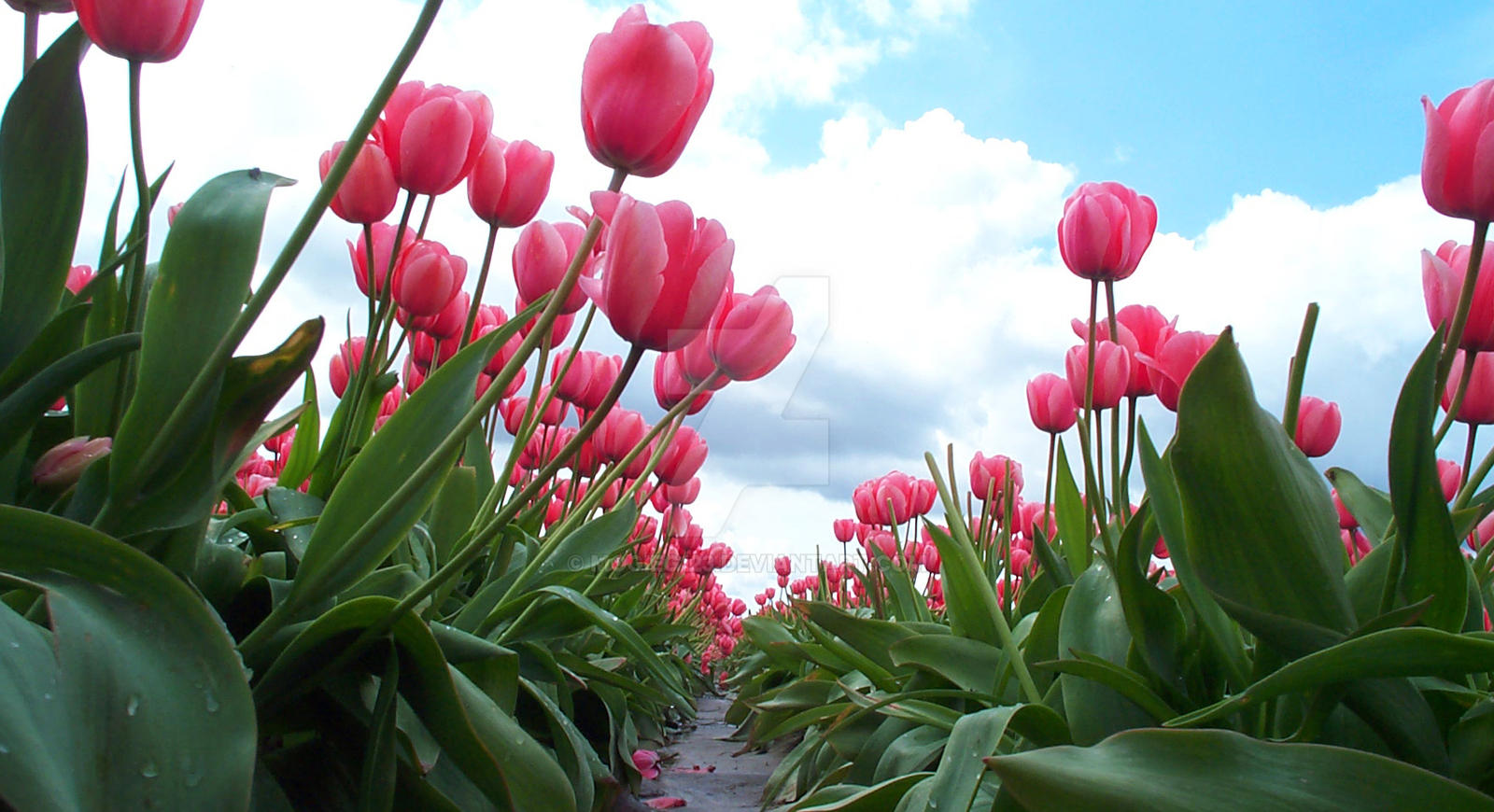 Bug's View of Pink Tulips