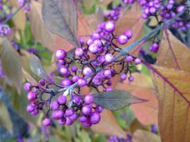 Purple Autumn Berries
