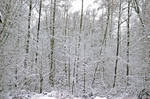 Snow-covered woods