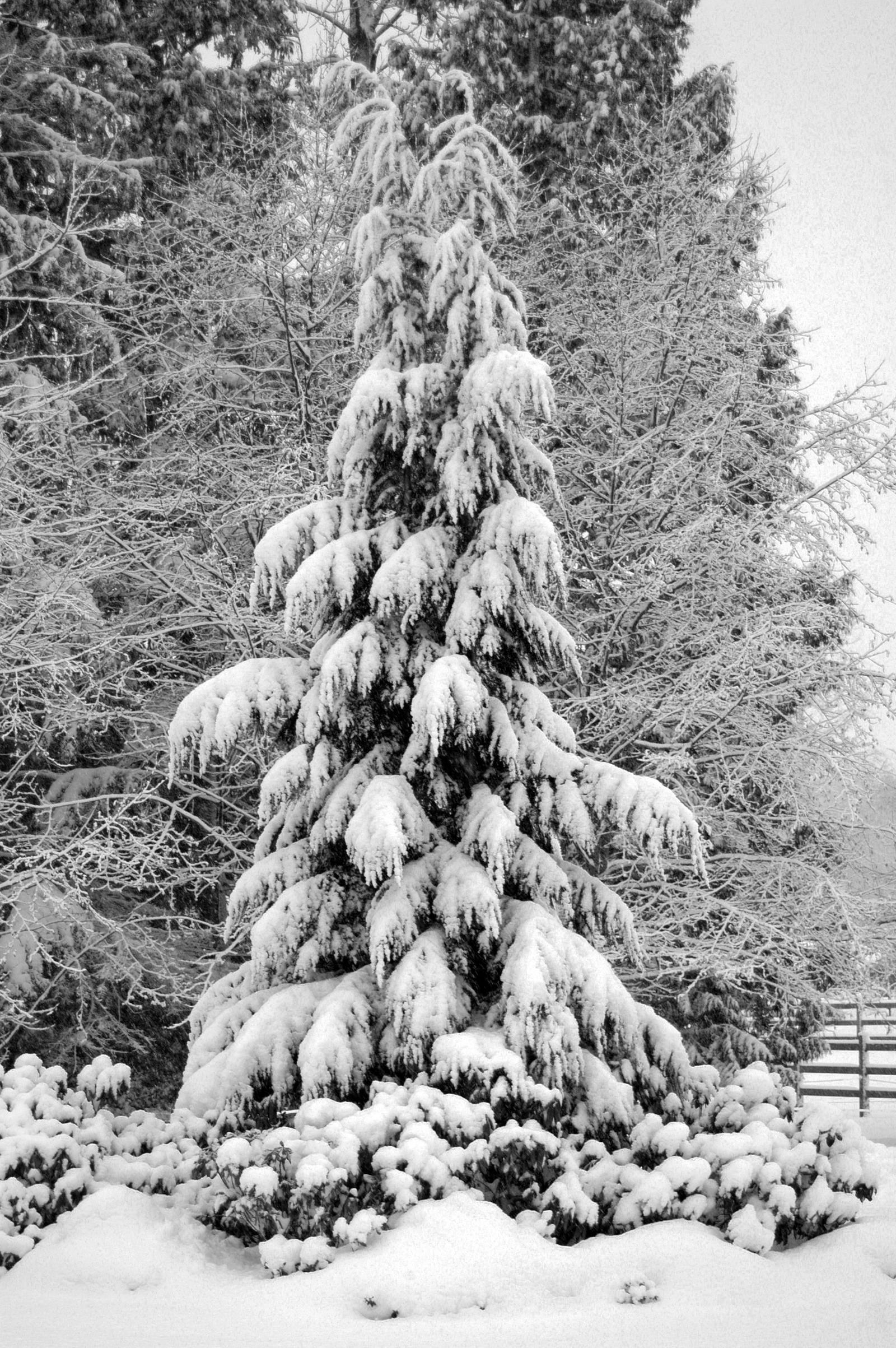 Large Snowy Evergreen Tree by MogieG123