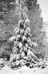 Large Snowy Evergreen Tree