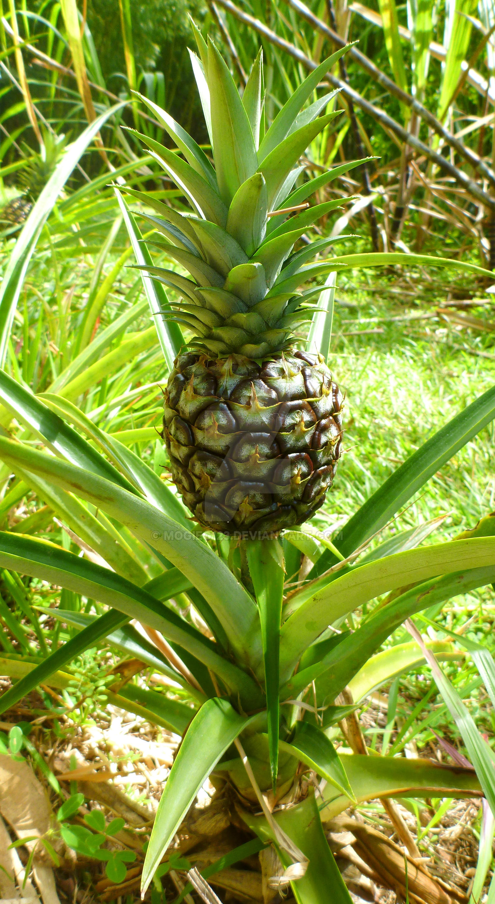 Do Pineapples Grow On Trees By Mogieg123 On Deviantart