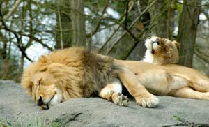 A Lion Couple