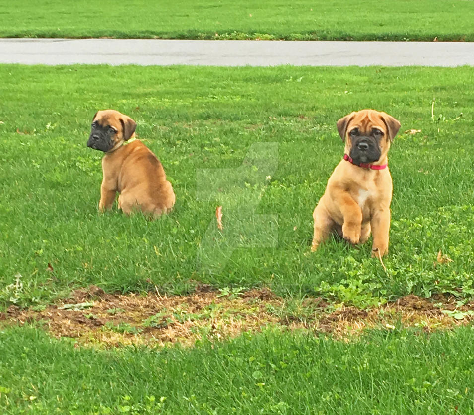 Two Bullmastiff pups by MogieG123