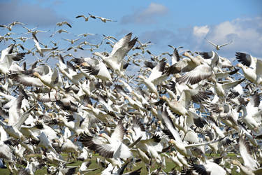 Wall of Snow Geese