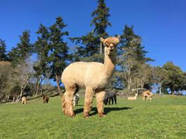 My friend, the Alpaca