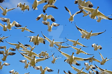 Snow Geese Over Head