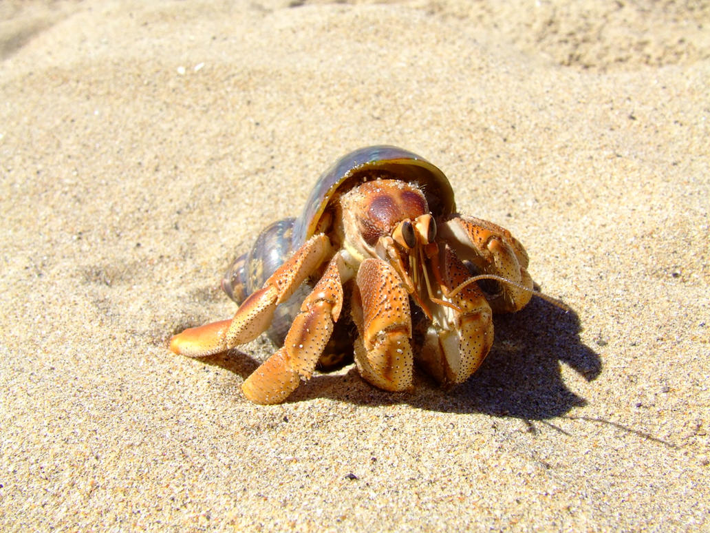 Land Hermit Crab on beach II by alilone on DeviantArt