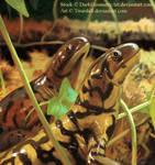 Tiger Salamanders
