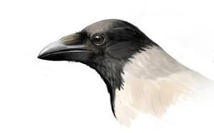 Study: Hooded crow