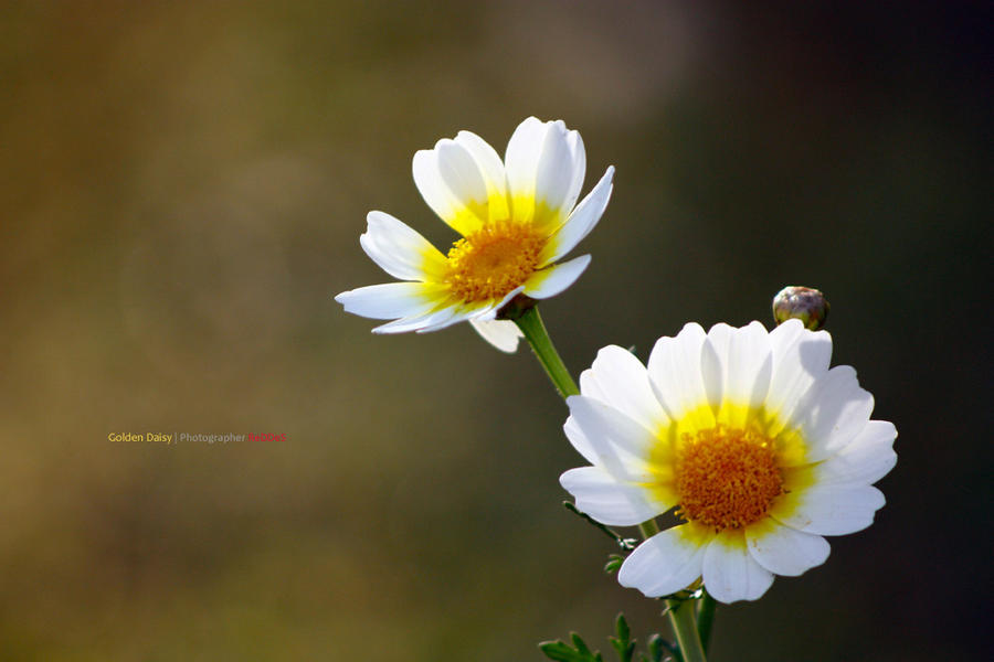 Golden Daisy by reddes