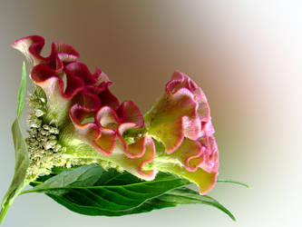 cellosia flower by photonline