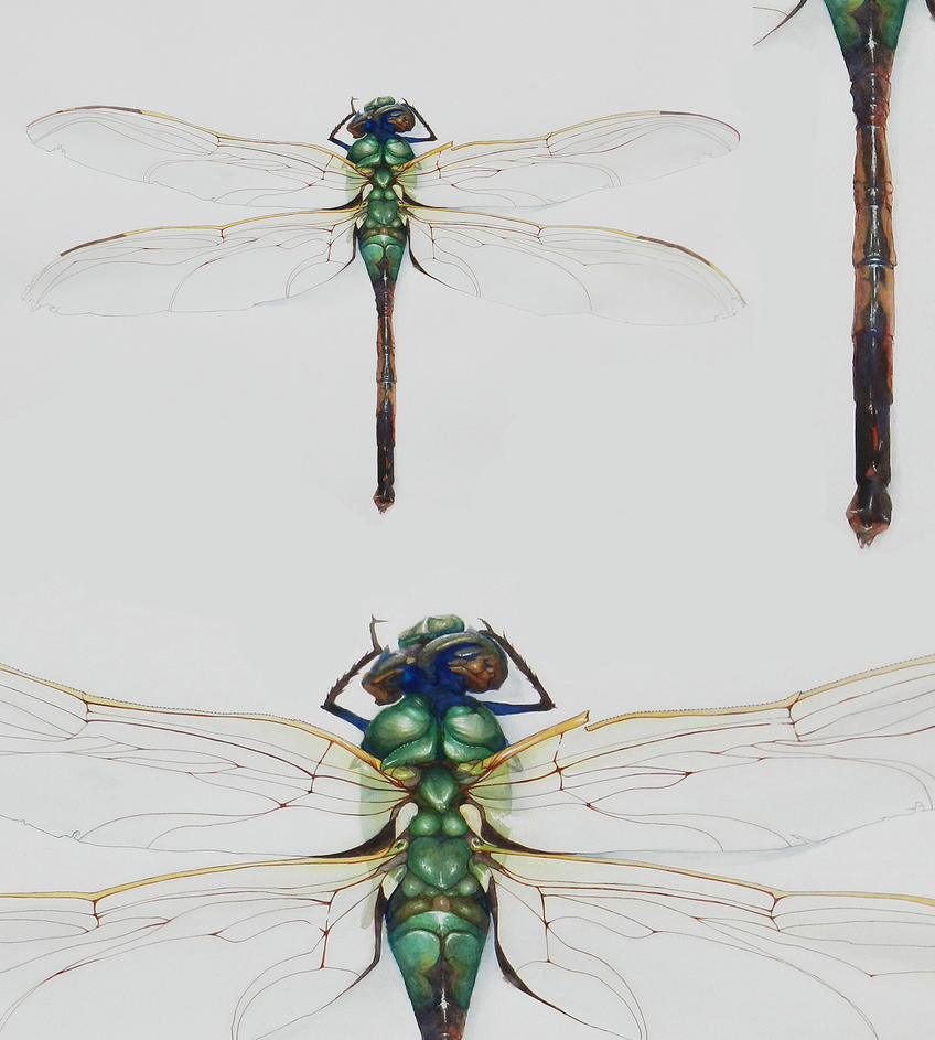 Dragonfly Watercolor - closeups by Kainslee on DeviantArt C Cup Example