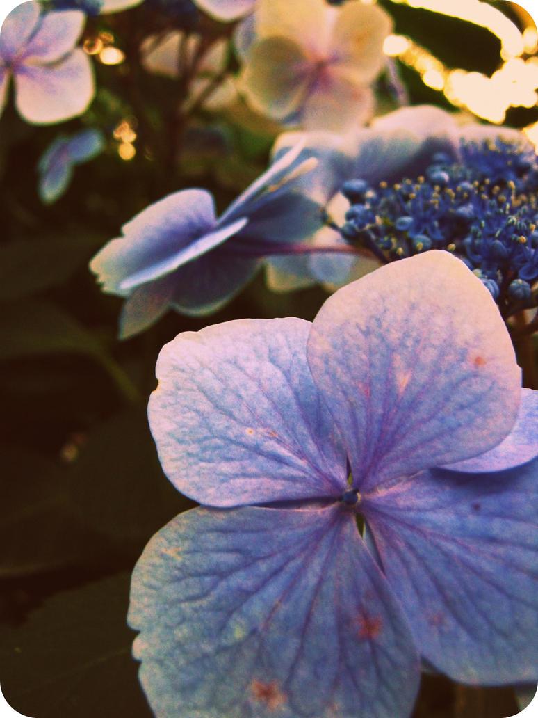 Blue petals by Ginkoftw