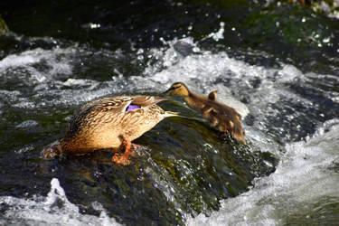 Baby Duck Climbing a Waterfall