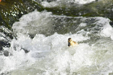 Baby Duck in Strong Currents 1