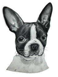 My Boston Terrier by SketchbookFlavor