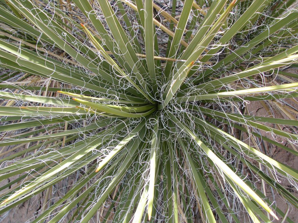 Spiralling Yucca by MentalAsylumRules
